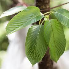 What is Mitragyna Speciosa