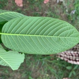 What Do The Colors of Maeng Da Kratom Mean?