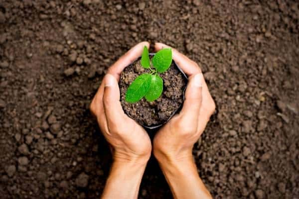 Grow Kratom Trees